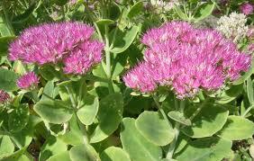 plante grasse vivace exterieur