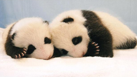 bebes-pandas