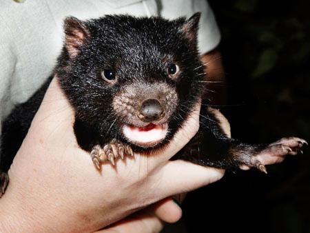 bébé diable de tasmanie 2