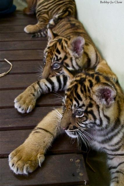 bébés tigres 4