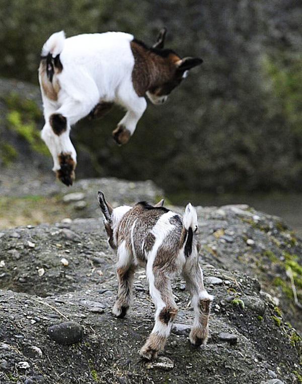 bébé chèvre 3