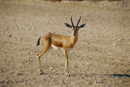 Gazelle in Qatar 4
