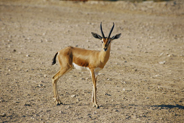 Gazelle in Qatar 4