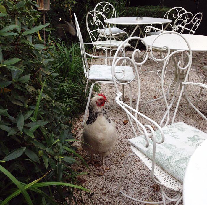 rencontre avec une poule